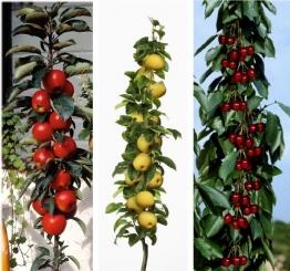 "3er Set Säulenobst. Apfel ""Rotbäckchen"". Kirsche Viktoria. Nashi. je 1 Stück -"