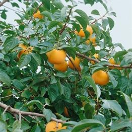 Amazon.de Pflanzenservice exotischer Obstbaum: Kaki, Kakipflaume, Honigapfel, Diospyros kaki, Busch, 1 Pflanze,  ca. 60 - 80 cm hoch, 3 Liter Container -