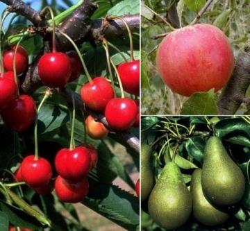 """Amazon.de Pflanzenservice Starter Set Obstbäume: je 1 Apfelbaum """"Cox Orange"""", Birnenbaum """"Conference"""", Kirschbaum """"Schneiders Späte Knorpelkirsche"""", Busch, 60 - 80 cm hoch, 5 - 7 Liter Container -"""