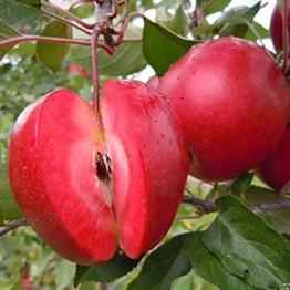 Blue Vessel 10 PCS Apple-Samen roten Apfel Obst Liebe rotes Fleisch Obstbäume vergossen Obstbäume -