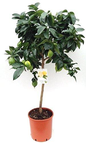 Citrus limon - Echter Zitronenbaum - 90 cm // -