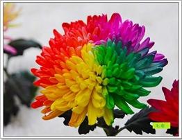1lunji Samen Blumen–Chrysanthemen bunt selten–Samen Bonsai für Garten Pflanze von (20Samen) - 1