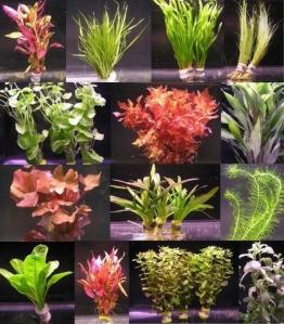 6 verschiedene Bunde mit mehr als 40 Aquarium-Pflanzen - buntes Sortiment für ein 60 Liter Aquarium, Wasserpflanzen für Vorne, Mitte und Hinten - 1