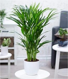 BALDUR-Garten Areca Palme ca. 50 cm hoch,1 Pflanze Zimmerpalme Goldfruchtpalme Grünpflanze - 1
