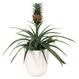 Breasy - Bromelia Ananasplant Cin other wordsona - Pflanze in Witte Keramiek Pot ø13 cm - Auge Bromelia ? 38 cm - 1