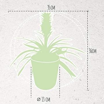 Breasy - Bromelia Ananasplant Cin other wordsona - Pflanze in Witte Keramiek Pot ø13 cm - Auge Bromelia ? 38 cm - 4