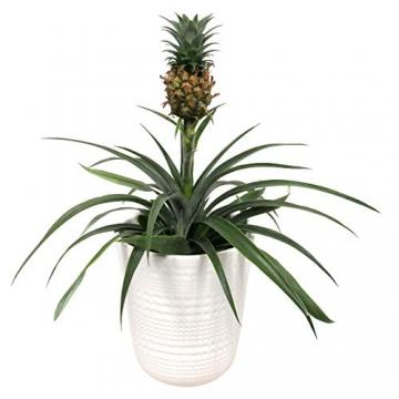 Breasy - Bromelia Ananasplant Cin other wordsona - Pflanze in Witte Keramiek Pot ø13 cm - Auge Bromelia ? 38 cm - 1