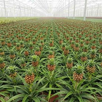 Breasy - Bromelia Ananasplant Cin other wordsona - Pflanze in Witte Keramiek Pot ø13 cm - Auge Bromelia ? 38 cm - 6