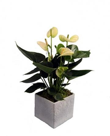 Dominik Blumen und Pflanzen, Zimmerpflanzen Flamingo-Blume, Anthurie, weiß blühend, 1 Pflanze und Scheurich Übertopf grau stone, circa 14 x 14 x 14 cm, grün - 1