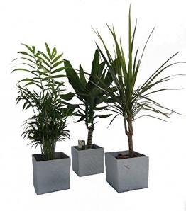 Dominik Blumen und Pflanzen, Zimmerpflanzen Palmen-Trio im Scheurich Würfeltopf grau-stone, circa 14 x 14 x 14 cm, 3 Pflanzen und 3 Töpfe, grün - 1