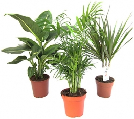 Dominik Blumen und Pflanzen, Zimmerpflanzen Set aus 1x Diefenbachie, 1x Zimmerpalme und 1x Drachenbaum (Dracaena marginata), 10-12 cm Topf - 1