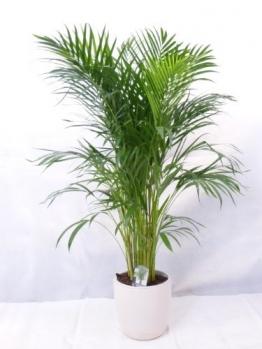echte Pflanze - Goldfruchtpalme 130 cm Chrysalidocarpus lutescens - Areca Palme - Zimmerpflanze - 1