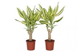 FloraAtHome - Grünpflanze - Dracaena Yellow Coast  - Drachenbaum - 40cm hoch - 2er-Set - 1