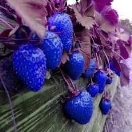 Keland Garten - 100 Großfrüchtige zuckersüssErdbeere Samen Mischung 6 Sorten für Garten und Balkon (Blau) - 1