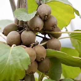 Kiwi Pflanze Sorte Jenny selbstbefruchtend und winterhart, kräftige Pflanzen im Topf gewachsen ca. 60-100cm - 1