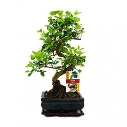 Liguster Bonsai 7 Jahre - 1 baum - 1