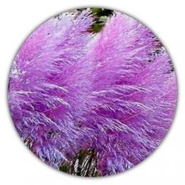 Lila Pampasgras - Cortaderia sellona - Ziergras - ca. 50 Samen zur Aussaat - Pflanze mit violetten Blüten - Gartenpflanze - 1