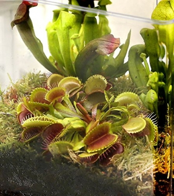 Swampworld Terrarium - 2-farbige Beleuchtung - 3 Fleischfressende Pflanzen - 3