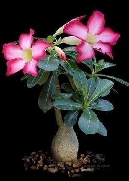 Tropica - Sukkulenten - Wüstenrose (Adenium obesum) - 8 Samen - 1