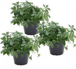 unsere-gaertnerei 3er Set Kraut der Unsterblichkeit (Jiaogulan) 12cm Topf Pflanze, grün, 30 x 20 x 20 cm - 1