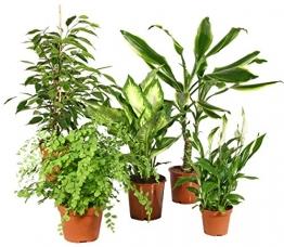 Zimmerpflanzen Grünpflanzen Mix nach Ihren Wünschen (5er Mix) - 1